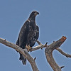Immature bald eagle in central Florida