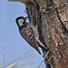 Red-cockaded woodpecker in Three-Lake Wildlife Management Area