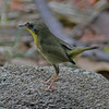 First year male common yellowthroat in Mead Garden
