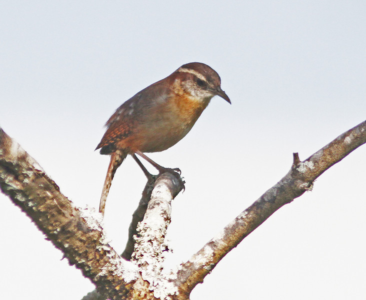 Carolina wren in Mead Garden