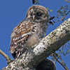 Barred owl owlet in Mead Garden