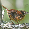 Carolina wren, apparently fledged young