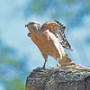 Red-shouldered hawk about to fly in Mead Garden