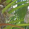 Adult barred owls near nest, female on left