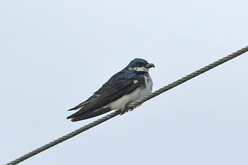 odd bird looking like a swallow with a large deformed upper bill