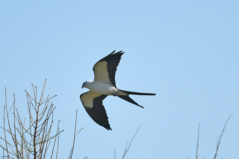 Swallow-tailed kite near Lake Balwin