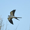 Swallow-tailed kite near Lake Balwin