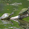 Two painted turtles sunning on log in Mead Garden