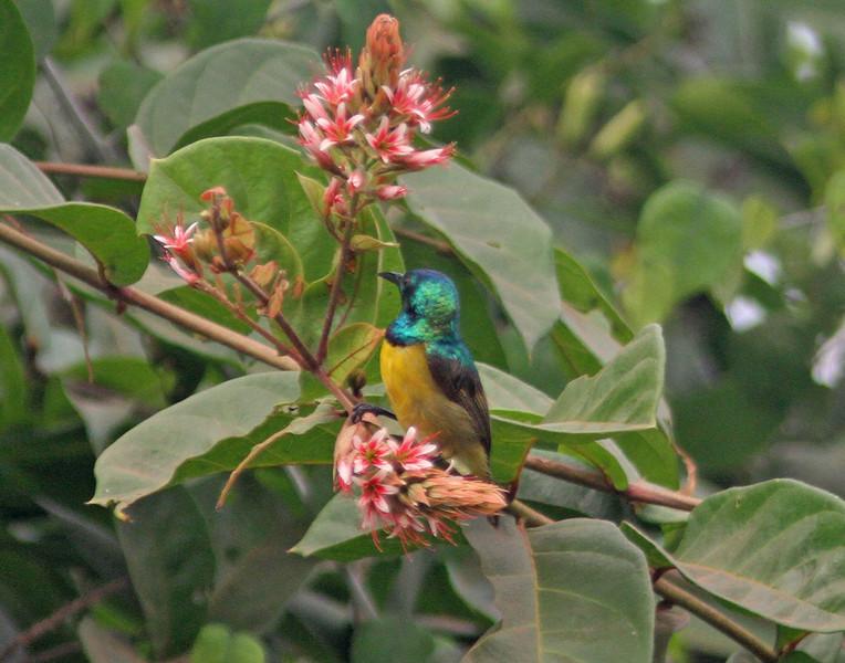 Male collared sunbird