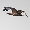 Denham's bustard in flight