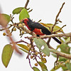 Bearded barbet