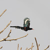 Green wood-hoopoe in flight