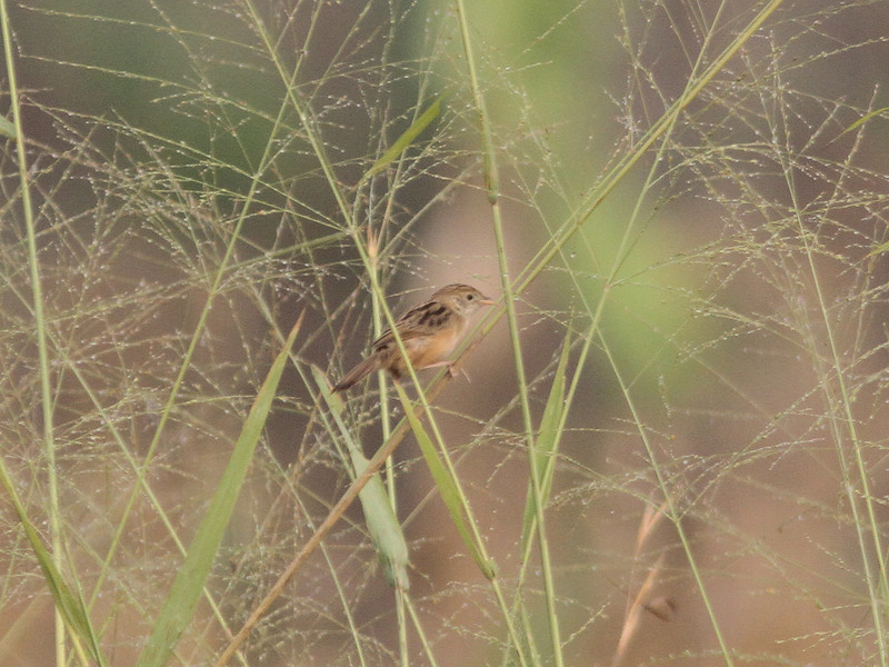 Croaking  cisticola