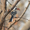 Red-billed hornbill, (northern)