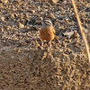 Cinnamon-breasted rock bunting