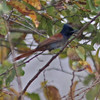 African paradise flycatcher, male without long tail