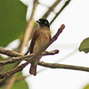 Black and white flycatcher, female