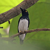 Black and white flycatcher, male