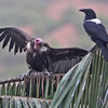Hooded vulture and crow