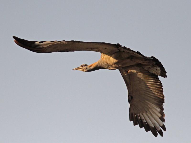 Denham's bustard in flight