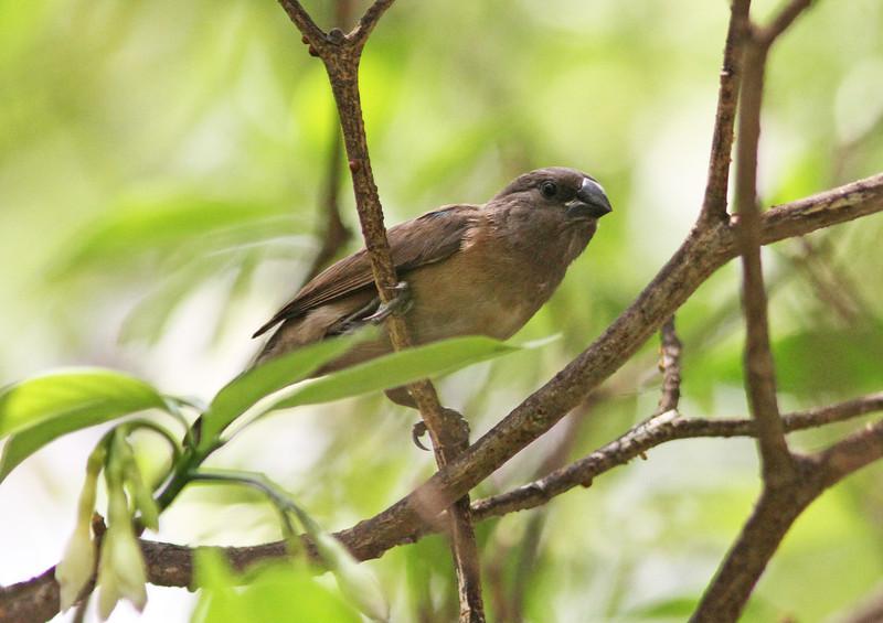 Juvenile bronze mannikin