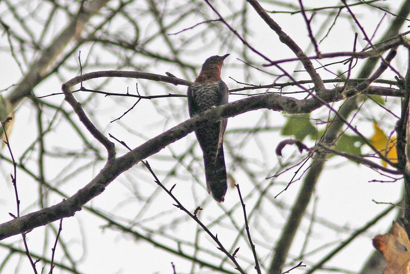Black cuckoo, gabonensis race