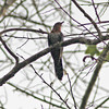 Black cuckoo, gabonensis race