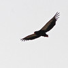 Bateleur in flight