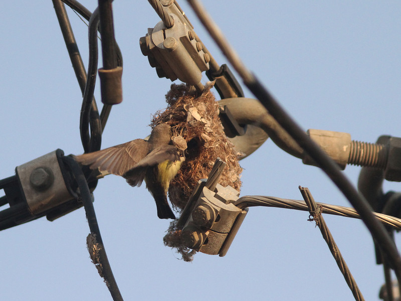 Female pygmy sunbird at nest