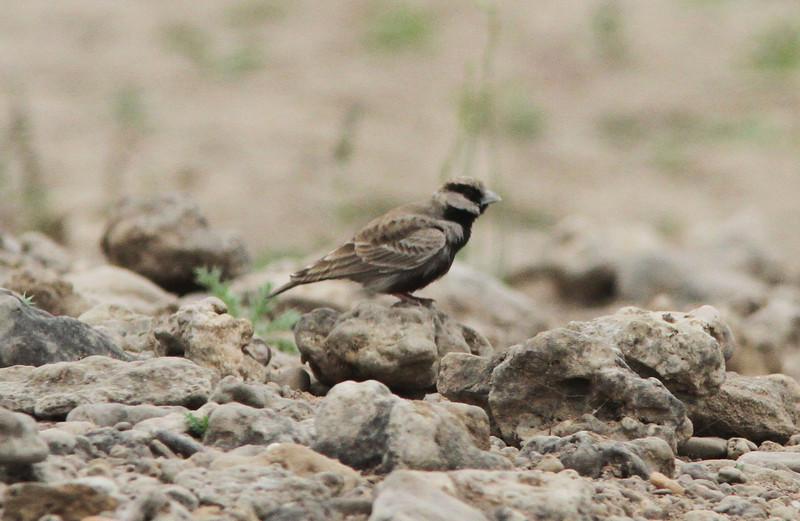 Ashy-crowned sparrow lark