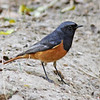 Black redstart,male