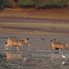 Birds and mammals at water (Ranthambhore NP)