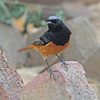 Black redstart, male