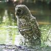 Barred owlet in Mead Garden