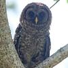 Barred owl in Mead Garden