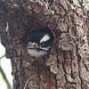 Downy woodpecker in nest hole