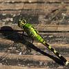 Green dragonfly in Mead Garden