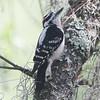 Downy woodpecker in Mead Garden, male
