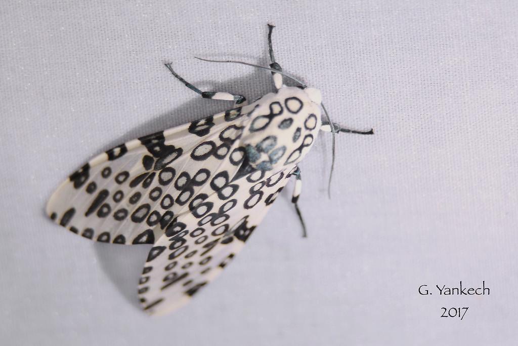 Giant Leopard Moth, Hypercompe scribonia