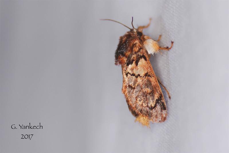Hag (Monkey Slug) Moth, Phobetron pithecium