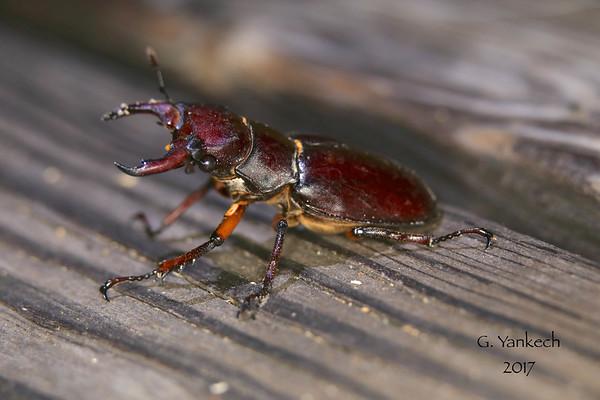 Lucanus capreolus (Stag Beetle)