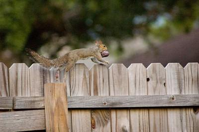 Leaps to the top of the fence