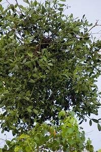Top of the tree - dark brown area is her nest