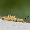 White Marked Tussock Moth, Orgyia leucostigmata