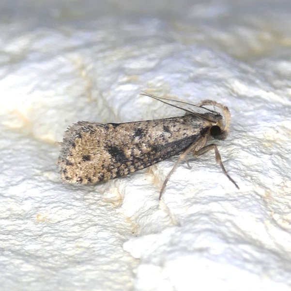 H00366  P156AcrolophusMortipennella215 Apr. 28, 2016  7:01 a.m.  P1560215 This Acrolophus mortipennella has a lot of black on it.  Seen at LBJ WC.  Acrolophid.