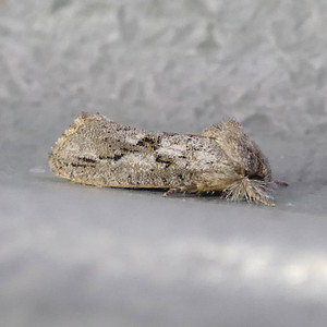 H00355  P157AcrolophusIcarus286 May 26, 2016  7:47 a.m.  P1570286 Here is a nice Acrolophus icarus.  I understood that this was split from A. griseus, as A. capitatus but BG says A. icarus per Peter Jump.  Acrolophid.