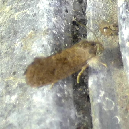 H00355.1  P159AcrolophusHeppneri412 Aug. 11, 2016  7:55 a.m.  P1590412 This really poor pic (sorry!) is Acrolophus heppneri, a Tubeworm Moth at night lights at LBJ WC.  Acrolophid.