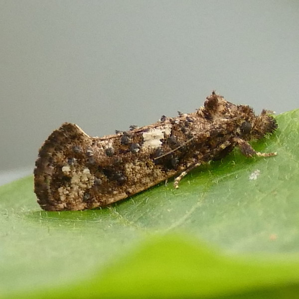 H00347  P167AcrolophusCressoni-C'sGrTM383 May 18, 2017  8:12 a.m.  P1670383 I suspected we had this last week but got a lifer Speckled Xylesthia Moth, also called Clemens' Bark Moth, instead.  This similar Acrolophus cressoni is the real thing, and a species we only see occasionally at LBJ WC.  Tineid.