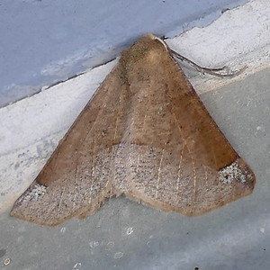 P171CaripetaTriangulata506 Feb. 15, 2018  7:28 a.m.  P1710506 Side angle view of a Caripeta triangulata on a balcony wall at LBJ WC.  See 2d today with different pattern.  Geometrid.