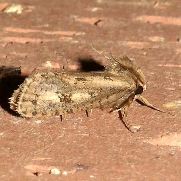 H00383  P174AcrolophusPopeanella085 May 21, 2018  7:30 a.m.  P1740085 This is Acrolophus popeanella, one not often seen here at 2601, but appears on occasion.  Tineid.